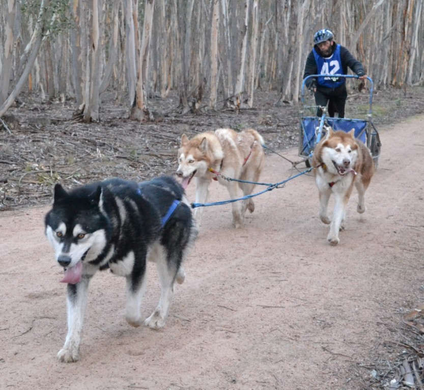 Car Harness Dog >> Sledding Information